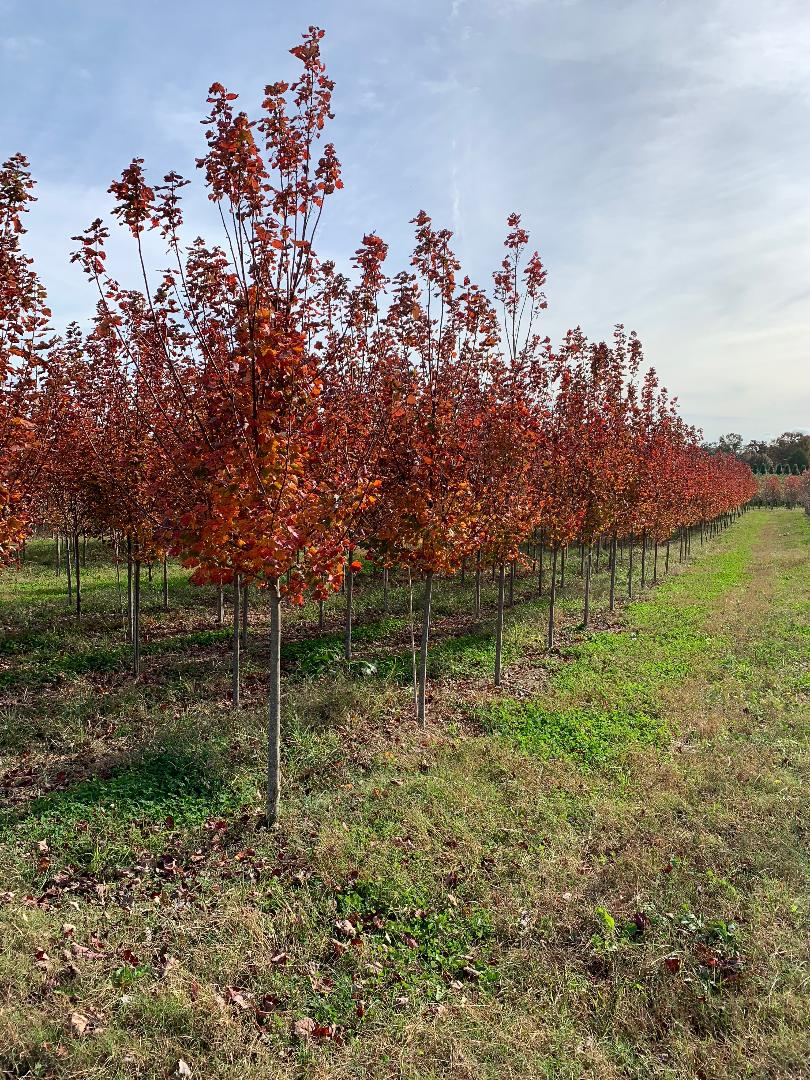 our amazing october glory maples